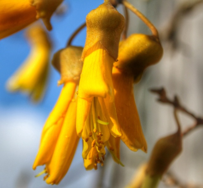 Kowhai: the unofficial national flower of New Zealand, and symbol of Women's Refuge NZ. Photo: Su Leslie, 2015