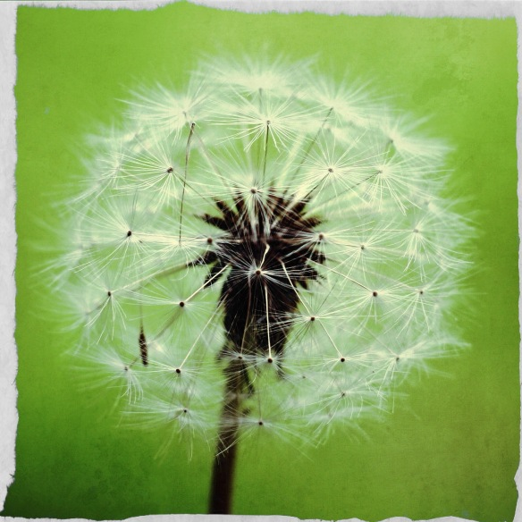 Dandelion clock. Close-up shot on green background. Image: Su Leslie, 2016. Edited with Stackables and Pixlr.