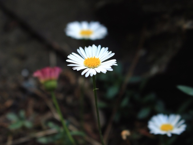 Close-up shot of daisies growing around a disused goldmine. Image: Su Leslie, 2016