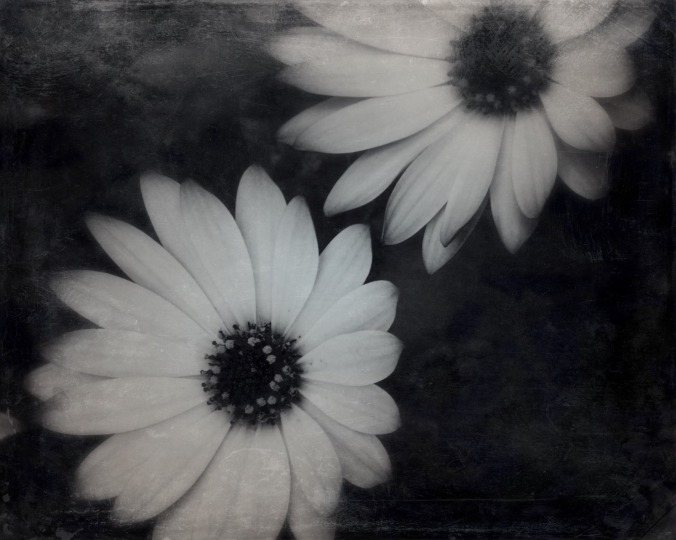 """Melancholy were the sounds on a winter's night."" ― Virginia Woolf, Jacob's Room. Macro b&w image of daisies. Image: Su Leslie, 2016"