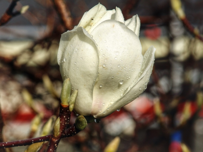 Close up shot of white magnolia flower with raindrops. Image: Su Leslie, 2016