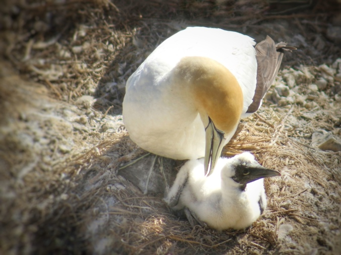 Adult gannet with chick. Seen at Muriwai Gannet Colony, Auckland, NZ. Image: Su Leslie, 2016