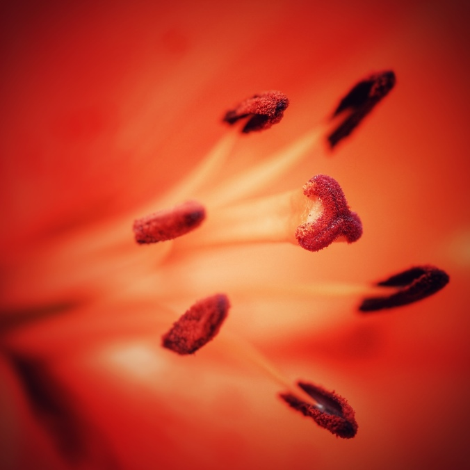 Close-up shot of orange lily stamen coated in pollen. Image: Su Leslie, 2017