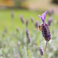 Lavender lunch. Image: Su Leslie