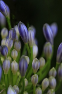 Close-up; purple agapanthus buds. Image: Su Leslie, 2017