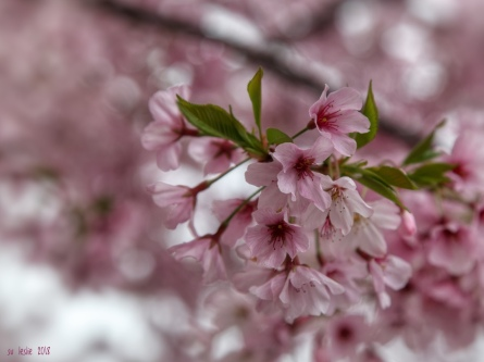 Cherry blossom, Havelock North town centre, Hawkes Bay, NZ. Image: Su Leslie