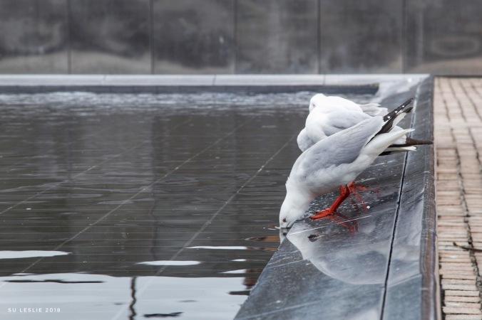 seagulls drinking in urban pond