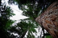 Redwoods Tree Walk, Rotorua. Image; Su Leslie 2019