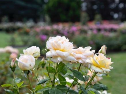 Dugald McKenzie Rose Garden, Victoria Esplanade, Palmerston North. Image; Su Leslie 2019