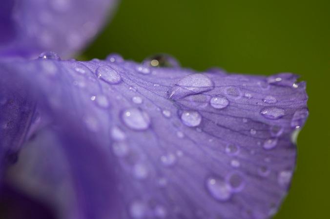wet iris macro