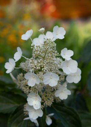 Hydrangea paniculata flowers. Image: Su Leslie 2020